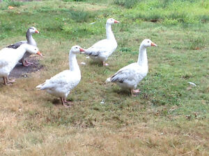 3 goslings born in May.
