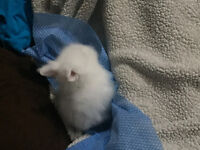 White lion head bunny 9.5 weeks old comes with everything