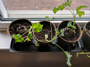 Vegetable plants for trade