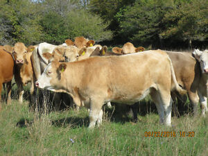 Bred first calf heifers Kitchener / Waterloo Kitchener Area image 8