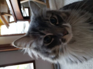 Lost grey and white long hair tabby cat in Lakeview