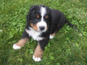 CKC Registered Purebred Bernese Mountain Dog Puppies