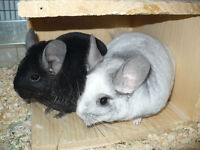 Pedigree Chinchilla Babies - friendly and socialized