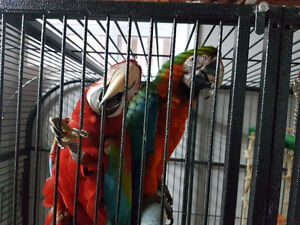 RED AND GREEN  AND BLUE MACAW PARROT