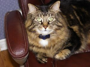 Port Hope, Maine Coon X male, black and tanned color pls help us Peterborough Peterborough Area image 1