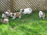 Shih Tzu Mix Puppies