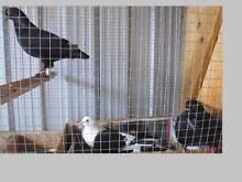 PIGEONS FOR SALE! Caroline Springs Melton Area Preview