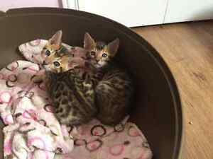 Purebred Bengal Kittens only 2 males left