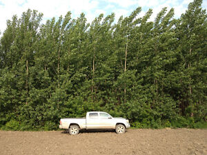Fast growing trees for sale - poplar and willow