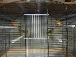 Young Gloster Canaries for sale