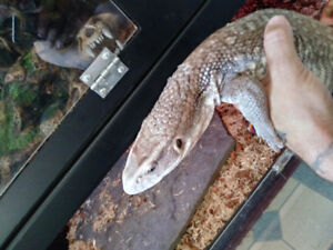 Male Savannah Monitor 2ft 50$ with pvc 150$