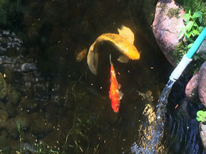 5 beautiful koi fish $600.00