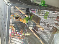 [GREAT DEAL] Pair of lovebird with FREE food/toys