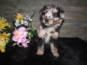 Toy & Miniature Aussiedoodles - Adorable F1 Hypoallergenic