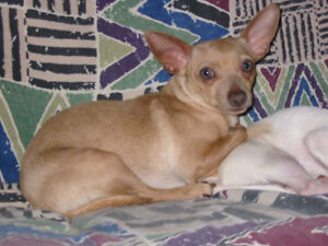 CHIHUAHUA Tan Adult Male Unaltered in Good Health