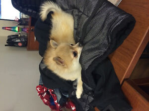 MISSING POM x CHIHUAHUA IN THE WINDEMERE AREA Edmonton Edmonton Area image 2