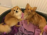 Full breed Pomeranian dogs for sale x2 13 months old
