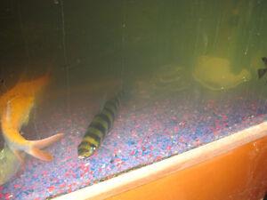 Fish for sale Regina Regina Area image 2