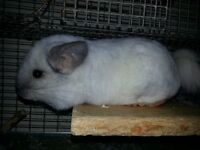 29 Chinchillas for sale. All have pedigrees.
