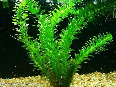 Anacharis Elodea Egeria Densa ADA Easy Live Fish Aquarium Pond Plants Java Moss