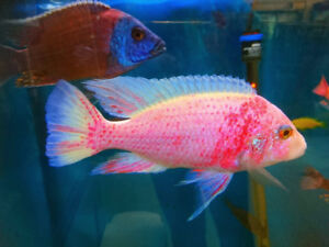 More than 100, Most of males Cichlids, sell from $2.5 to $20/ea