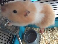 Hamster with all accesories