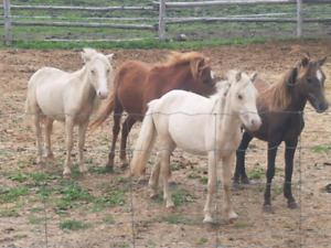 Four 1 year old pony colts