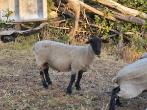 SUFFOLK RAMS FOR SALE