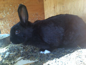 Domestic bunnies for sale