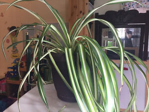 Spider plants available