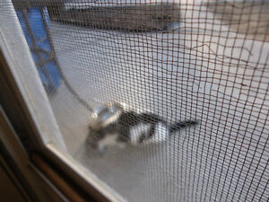 2 WHITE & BLACK KITTEN or SMALL CATS Found Windsor Region Ontario image 3
