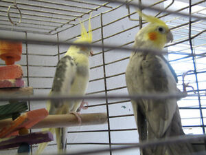 COCKATIELS FOR ADOPTION