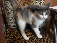 Calico Ragdoll cross. FEMALE