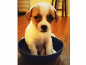 CUTE CHIHUAHUA / JACK RUSSEL MIX PUPPIES