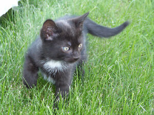 Chaton a donner chats et chatons dans grand montr al for Meuble a donner montreal kijiji