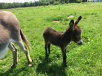 Miniature Male Donkey for sale