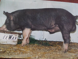 Berkshire boars and gilts