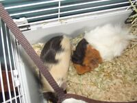 Guinea pig brothers for sale