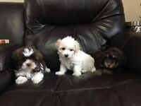 Bichon Frise x Toy Poodle Puppies!!