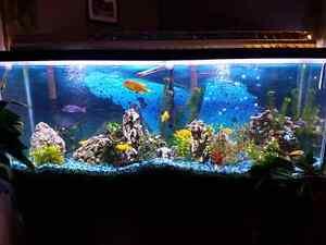 Aquarium 55 gallons cichlidé africain meubles inclus