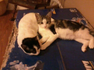 5 month old kittens free to a good home! London Ontario image 1