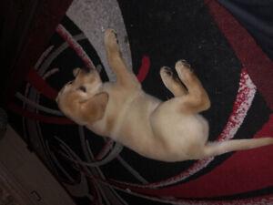 Golden Labrador Puppy for sale