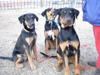 Two Rare Canadian Eskimo x German Doberman Dogs