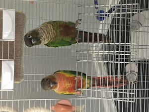 Couple Perroquet Conure