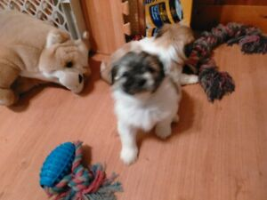 Adopt Dogs & Puppies Locally in Regina | Pets | Kijiji