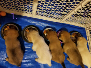 Sold - Chiweenie Christmas puppies!