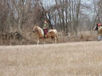 PRICE REDUCED FOR QUICK SALE 14 YR PALOMINO MARE