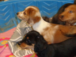 Mini Long Haired Dachshunds Dapples and Pieds