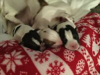 Jack russle pups for sale