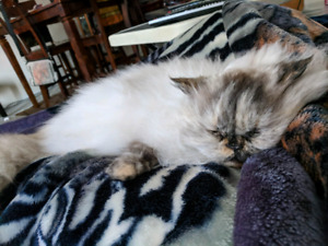 Himalayan Cat free to new home